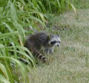 thumbnail of coons6.jpg