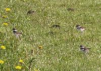 Thumbnail 3 killdeer chicks