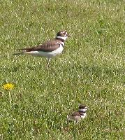 Thumbnail of adult and one killdeer chick